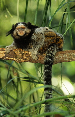Black Tufted-ear Marmoset (Callithrix penicillata) in rainforest, Brazil  -  Flip de Nooyer