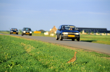 Eurasian Curlew (Numenius arquata) dangerously close to automobile traffic, Europe  -  Chris Schenk/ Buiten-beeld