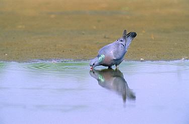 Stock Dove (Columba oenas) drinking from pond, Europe  -  Chris Schenk/ Buiten-beeld