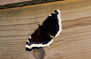 Mourning Cloak (Nymphalis antiopa) butterfly, Europe  -  Chris Schenk/ Buiten-beeld