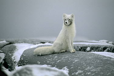 Arctic Fox (Alopex lagopus) portrait in winter coat, Canada  -  Chris Schenk/ Buiten-beeld