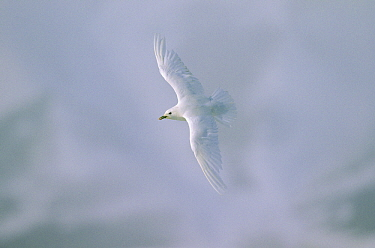 Ivory Gull (Pagophila eburnea) flying, Siberia  -  Chris Schenk/ Buiten-beeld