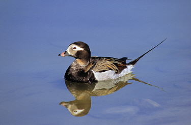 Long-tailed Duck (Clangula hyemalis) male on water with reflection, Siberia  -  Chris Schenk/ Buiten-beeld