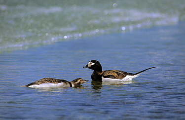 Long-tailed Duck (Clangula hyemalis) male and female on water, Siberia  -  Chris Schenk/ Buiten-beeld