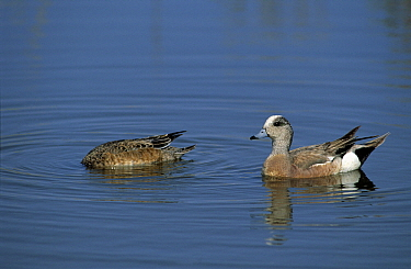 American Wigeon (Anas americana) male with dabbling female in water, North America  -  Chris Schenk/ Buiten-beeld