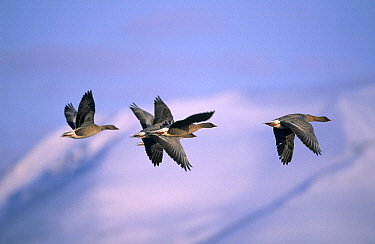 Pink-footed Goose (Anser brachyrhynchus) flock of four flying, Europe  -  Chris Schenk/ Buiten-beeld