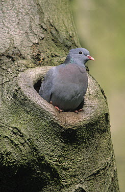 Stock Dove (Columba oenas) emerging from nest hole in tree, Europe  -  Frits van Daalen/ NiS