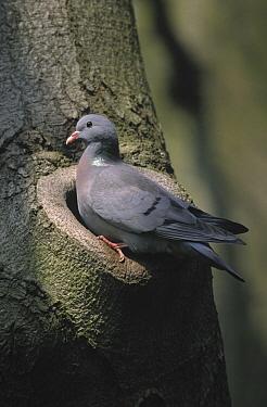 Stock Dove (Columba oenas) portrait at entrance of nest, Europe  -  Frits van Daalen/ NiS