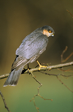 Eurasian Sparrowhawk (Accipiter nisus) male on branch, Europe  -  Duncan Usher