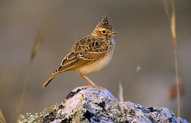 Eurasian Skylark (Alauda arvensis) portrait of chick on rock, Europe  -  Duncan Usher