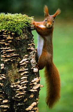 Eurasian Red Squirrel (Sciurus vulgaris) portrait on moss and fungus-covered tree stump, Europe  -  Duncan Usher
