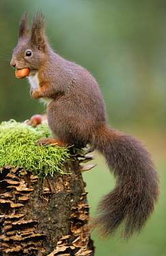 Eurasian Red Squirrel (Sciurus vulgaris) on moss and fungus-covered tree stump with a nut in its mouth, Europe  -  Duncan Usher