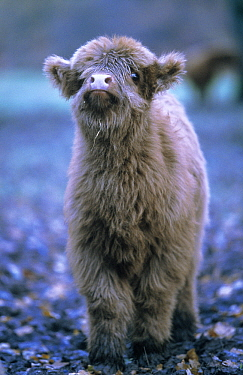 Domestic Cattle (Bos taurus), Highland breed, calf, Europe  -  Duncan Usher