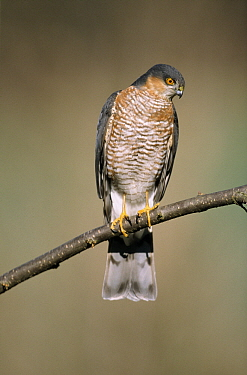 Eurasian Sparrowhawk (Accipiter nisus) male perching on branch, Europe  -  Duncan Usher