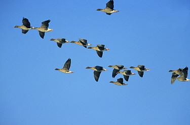 Pink-footed Goose (Anser brachyrhynchus) flock flying, Europe  -  Steven Ruiter/ NIS