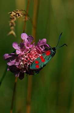 Six-spot Burnet (Zygaena filipendulae) moth on flower, Europe  -  Joke Stuurman/ NiS