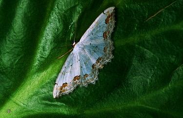 Lace Border (Scopula ornata) moth portrait on leaf, western Europe  -  Joke Stuurman/ NiS