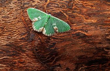 Blotched Emerald (Comibaena bajularia) moth on tree trunk, western Europe  -  Joke Stuurman/ NiS