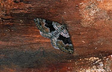 Large Twin-spot Carpet (Xanthorhoe quadrifasciata) moth on tree trunk, Europe  -  Joke Stuurman/ NiS