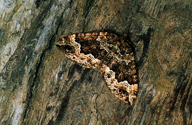 Water Carpet (Lampropteryx suffumata) moth camouflaged against tree trunk, western Europe  -  Joke Stuurman/ NiS