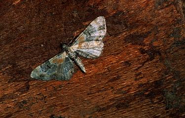 Toadflax Pug (Eupithecia linariata) moth portrait, Europe  -  Joke Stuurman/ NiS