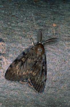 Gypsy Moth (Lymantria dispar) camouflaged against tree bark, western Europe  -  Joke Stuurman/ NiS