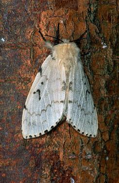 Gypsy Moth (Lymantria dispar) on tree trunk, western Europe  -  Joke Stuurman/ NiS