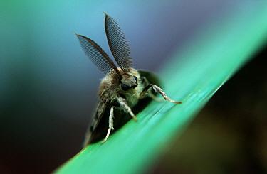 Gypsy Moth (Lymantria dispar) on leaf showing prominent antennae, western Europe  -  Joke Stuurman/ NiS