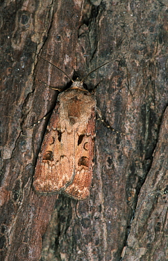 Heart and Dart Moth (Agrotis exclamationis) camouflaged against tree bark, western Europe  -  Joke Stuurman/ NiS