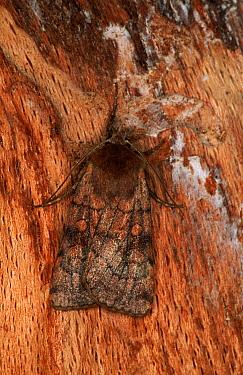 Six-striped Rustic (Xestia sexstrigata) moth camouflaged on tree bark, western Europe  -  Joke Stuurman/ NiS