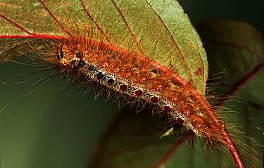Gypsy Moth (Lymantria dispar) caterpillar on leaf, western Europe  -  Joke Stuurman/ NiS