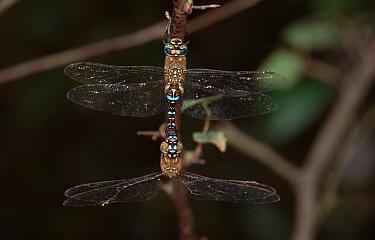 Migrant Hawker (Aeshna mixta) dragonfly pair mating, western Europe  -  Rene Krekels/ NIS