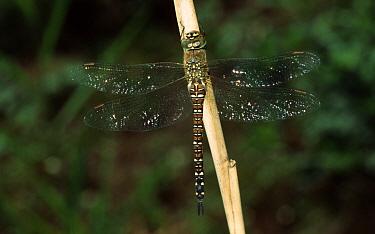 Migrant Hawker (Aeshna mixta) dragonfly portrait on plant stem, western Europe  -  Rene Krekels/ NIS