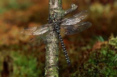 Subarctic Darner (Aeshna subarctica) dragonfly, western Europe  -  Rene Krekels/ NIS