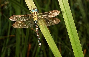Green Hawker (Aeshna viridis) dragonfly male on leaf, western Europe  -  Rene Krekels/ NIS