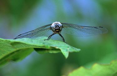 Scarce Chaser (Libellula fulva) dragonfly male on leaf, western Europe  -  Rene Krekels/ NIS