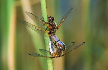 Scarce Chaser (Libellula fulva) dragonfly pair mating, western Europe  -  Rene Krekels/ NIS
