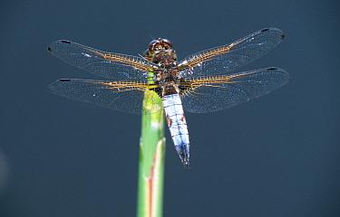 Scarce Chaser (Libellula fulva) dragonfly close up of male, western Europe  -  Rene Krekels/ NIS