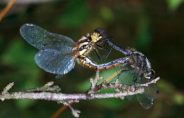 Black Darter (Sympetrum danae) dragonfly, pair mating, western Europe  -  Rene Krekels/ NIS