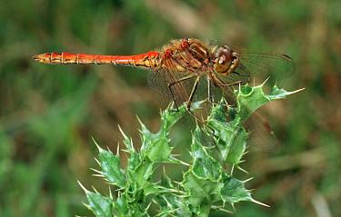 Common Darter (Sympetrum striolatum) dragonfly on thistle, western Europe  -  Rene Krekels/ NIS