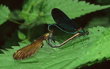 Beautiful Demoiselle (Calopteryx virgo) damselfly pair mating, western Europe  -  Rene Krekels/ NIS
