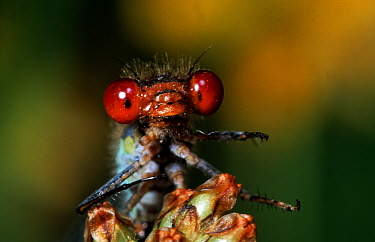Red-eyed Damselfly (Erythromma najas) close up of head, western Europe  -  Rene Krekels/ NIS