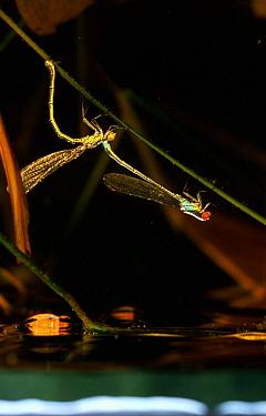 Red-eyed Damselfly (Erythromma najas) tandem pair, western Europe  -  Rene Krekels/ NIS