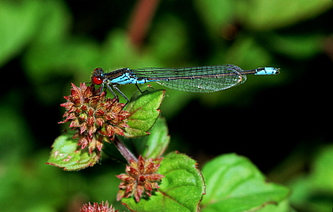 Small Red-eyed Damselfly (Erythromma viridulum) feeding on flower, western Europe  -  Rene Krekels/ NIS