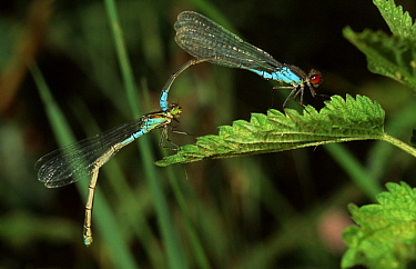 Small Red-eyed Damselfly (Erythromma viridulum) tandem pair copulating, western Europe  -  Rene Krekels/ NIS