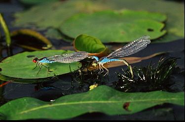 Small Red-eyed Damselfly (Erythromma viridulum) tandem pair laying eggs, western Europe  -  Rene Krekels/ NIS