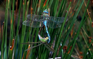 Emperor Dragonfly (Anax imperator) tandem pair mating, western Europe  -  Rene Krekels/ NIS