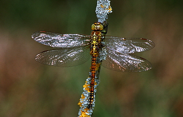 Southern Migrant Hawker (Aeshna affinis) dragonfly on branch, view of back, western Europe  -  Rene Krekels/ NIS