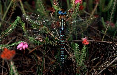Southern Migrant Hawker (Aeshna affinis) dragonfly in flora, western Europe  -  Rene Krekels/ NIS