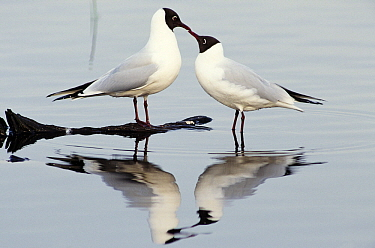 Black-headed Gull (Chroicocephalus ridibundus) pair, Europe  -  Flip de Nooyer